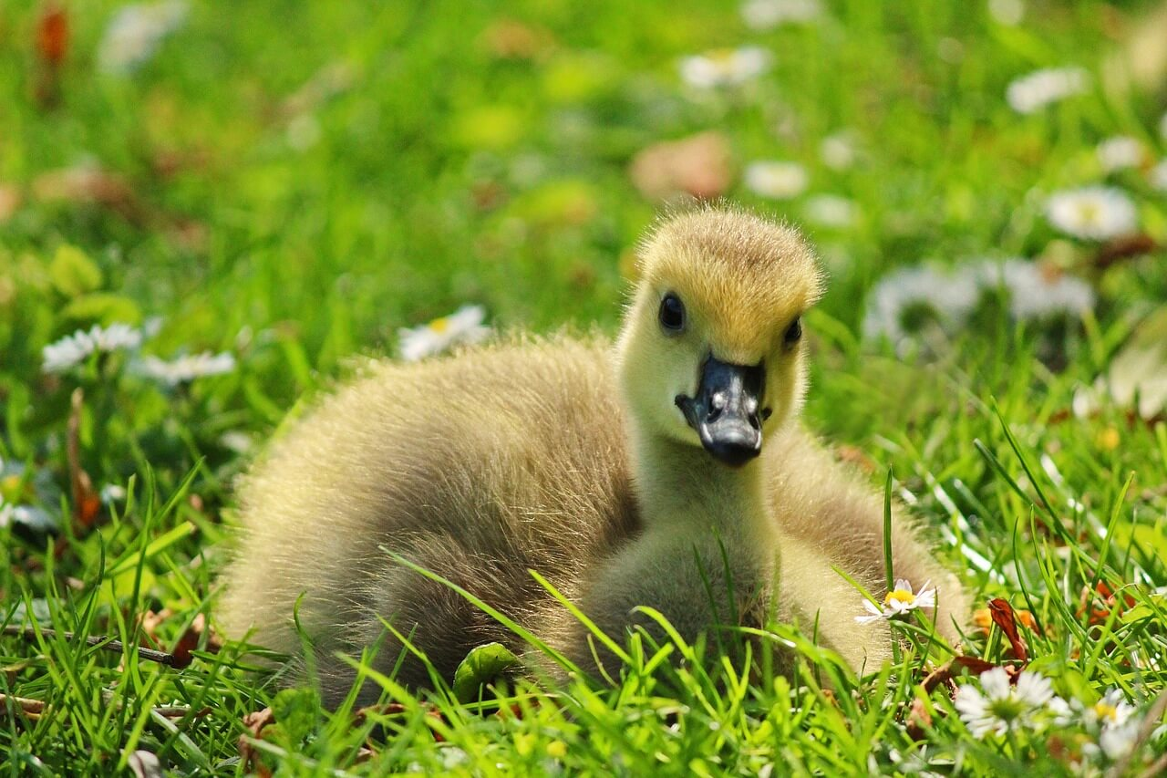 Adorable duckling lying in grass
