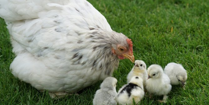 Peep This: Buying Chicks as 'Pets' or as Easter 'Gifts' Is Cruel