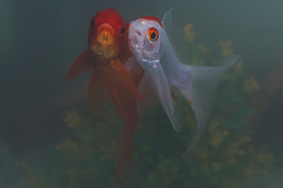 Goldfish friends - two goldfish - gold and white