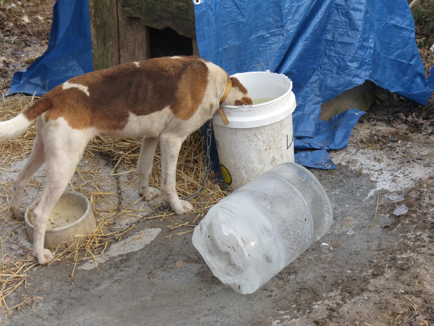 A dog's drinking water froze completely inside its bucket.