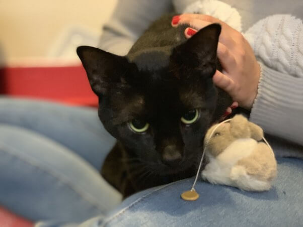 poe the black cat in a lap with a toy
