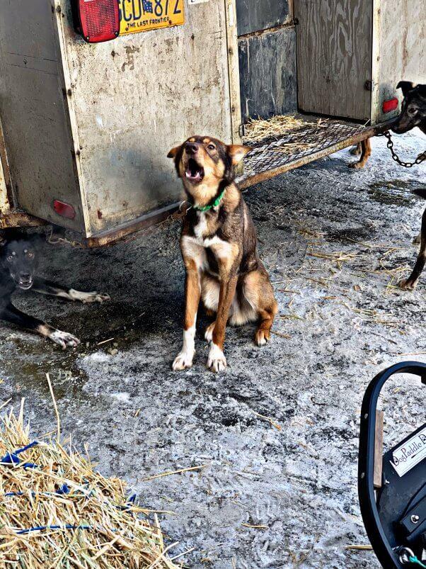get 2019 iditarod dog updates from PETA