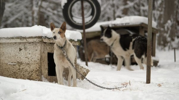 Dogs Chained to Boxes