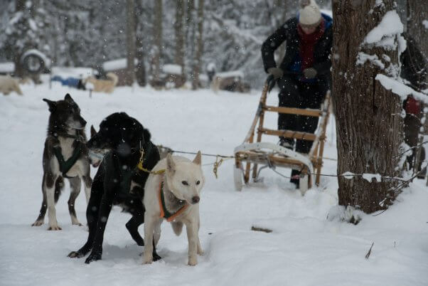 Dogs being used to pull a sled for the Iditarod. CGI should cut ties with the Iditarod.