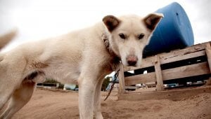 Tell Iditarod CEO to Leave Dogs out of Grueling Death Race