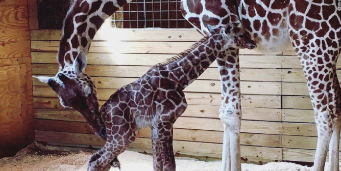 Want to Celebrate April the Giraffe's Legacy? PETA Says Stay Away From Roadside Zoos