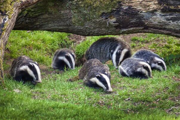 Badger sow and cubs