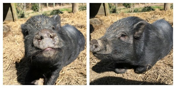 Two cute pot-bellied pigs
