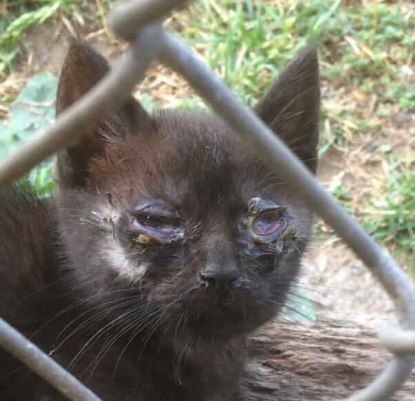 Los Angeles stray kitten with severe eye infection and wounds