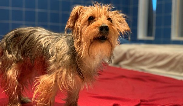 Cute rescued Yorkie mix Bella standing on red blanket