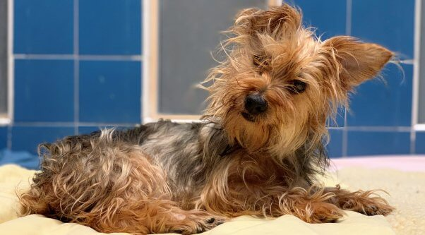 Cute Yorkie mix Bella is available for adoption