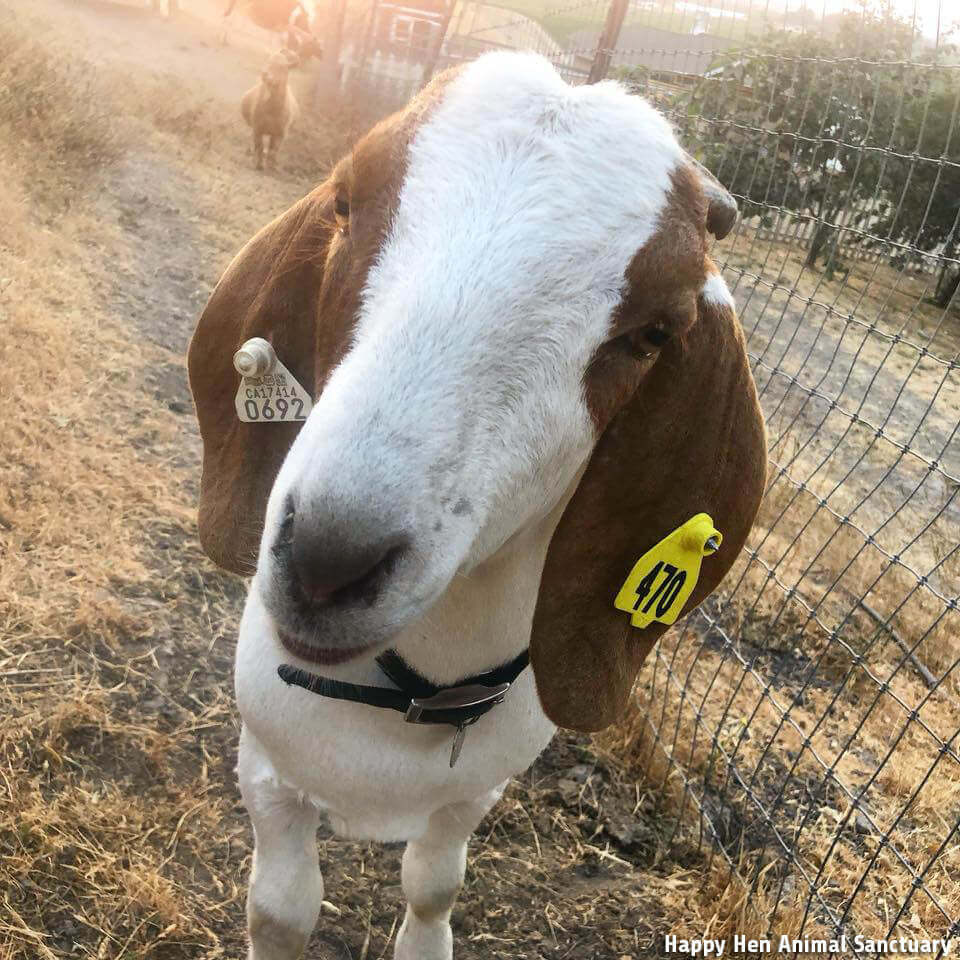 FFA Clyde Goat resuced