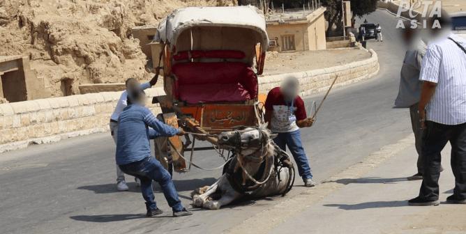 Breaking: Three Camel Traders Arrested at Birqash Camel Market Following PETA Asia Investigation