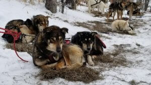 Groundbreaking Exposé Reveals Pain, Desolation, Abuse, and Systemic Neglect at Former Iditarod Champions' Kennels