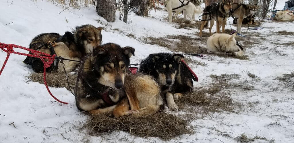 """Exhausted dogs were run for dozens or hundreds of miles to train for the Iditarod and to give tours to tourists. One dog with an injured paw who was forced to run repeatedly """"gave up"""" and was dragged."""