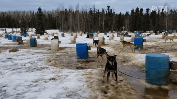 Iditarod Dogs at Kennel