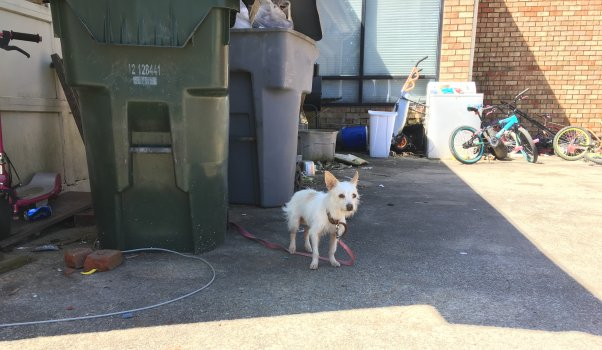 Cute little white dog tethered to trash can