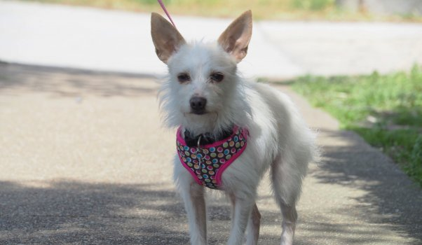 Cute little white dog wearing harness out for a walk