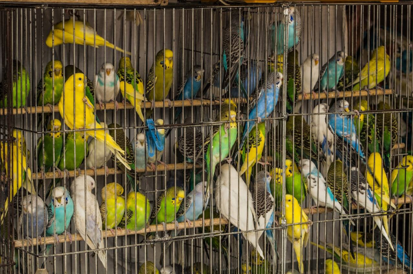 Parakeets Cramped in Birds Cage