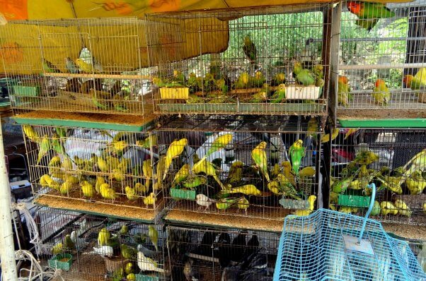 Crowded Parakeets in Cages