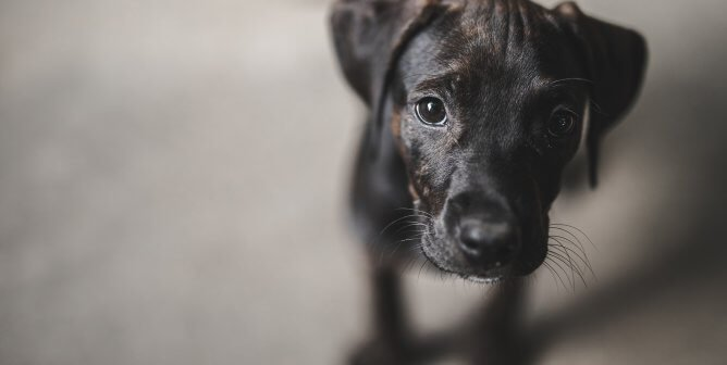small black dog looking at camera on gray background