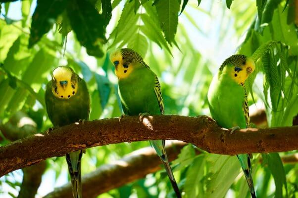 Flock of Parakeets