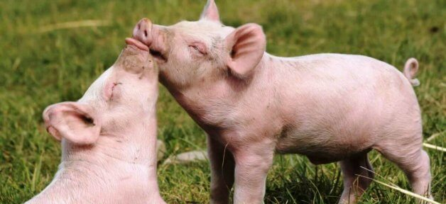 Happy. pigs, friends, cute, buddies, happy pigs