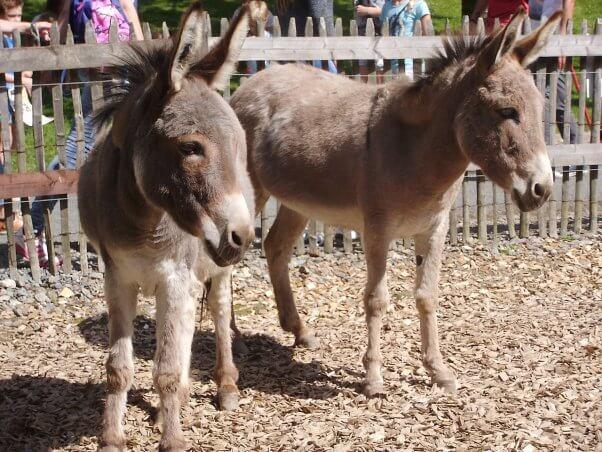 sad donkeys, petting zoo, terrible life, exploited, entertainment