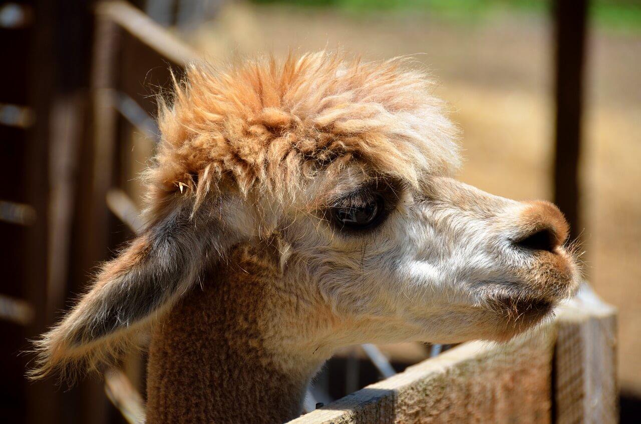 Petting Zoo, De-stress for finals, Llama, Sad