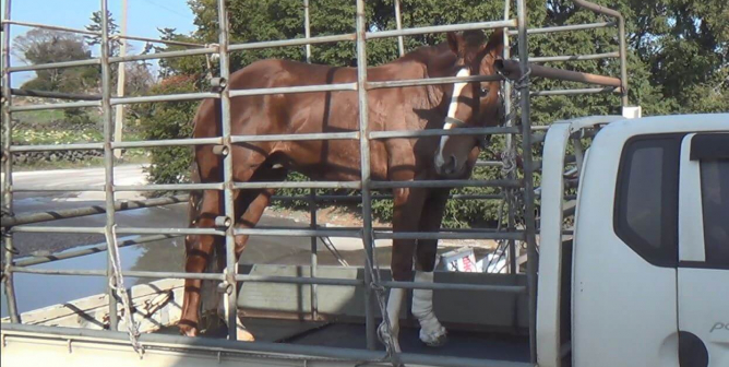 Horses Used for Racing Illegally Killed Just Feet From Others in  a Slaughterhouse