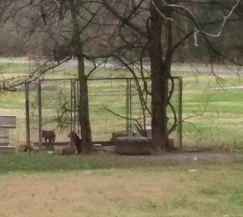 Backyard dogs in pen