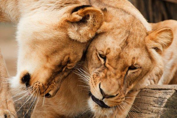 Two Female Lions Cuddling