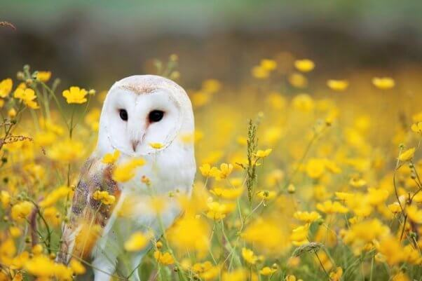 Barn owl in yellow field