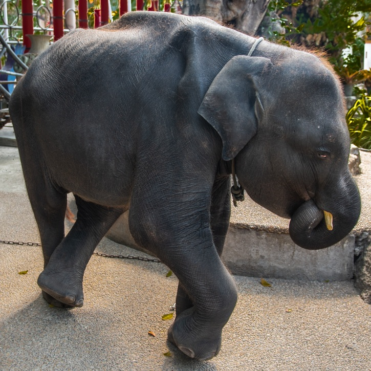 Captive Elephants Used in Tourist Attractions Are Being Pushed to the Brink, and the Results Are Deadly