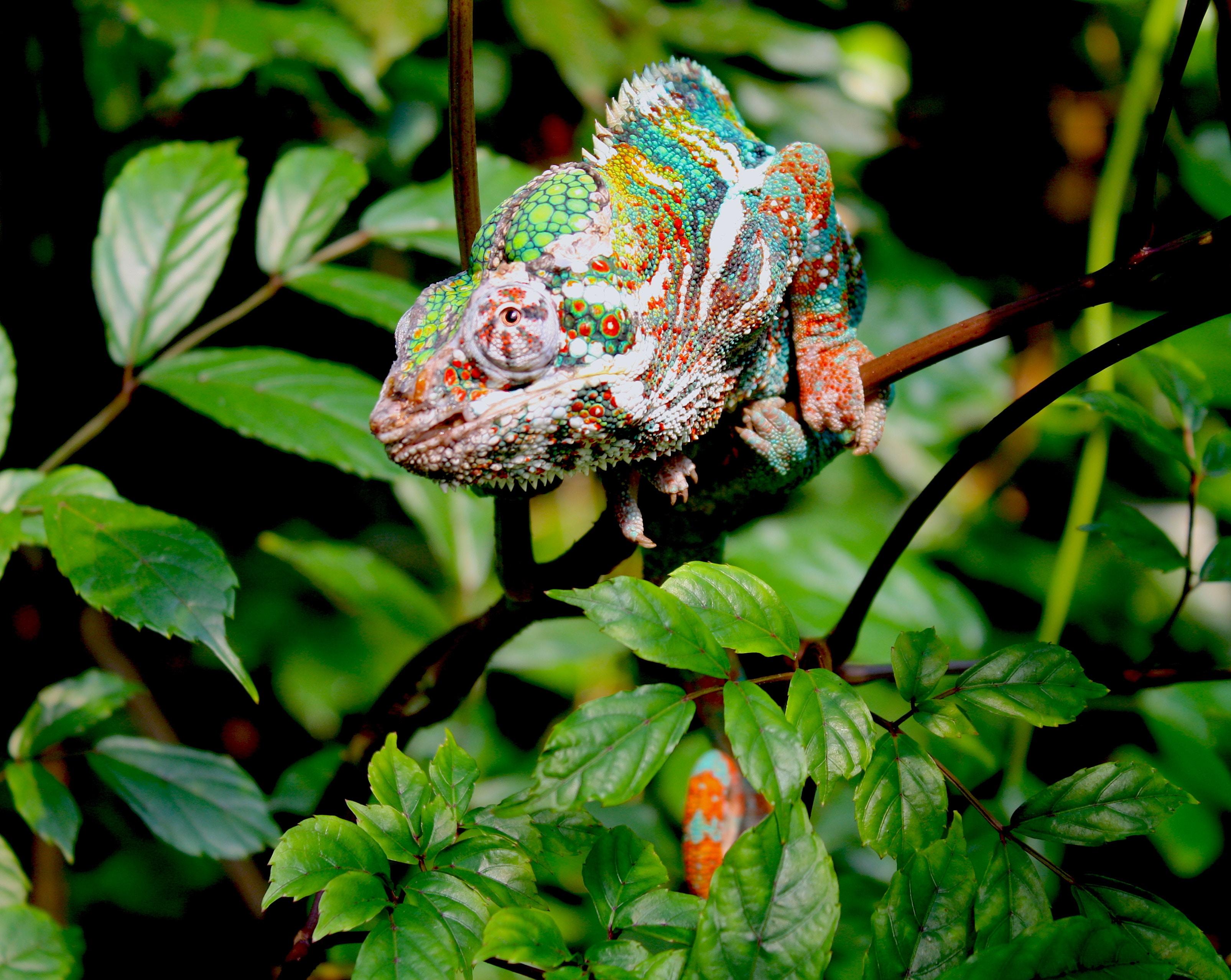 chameleon sitting on branch