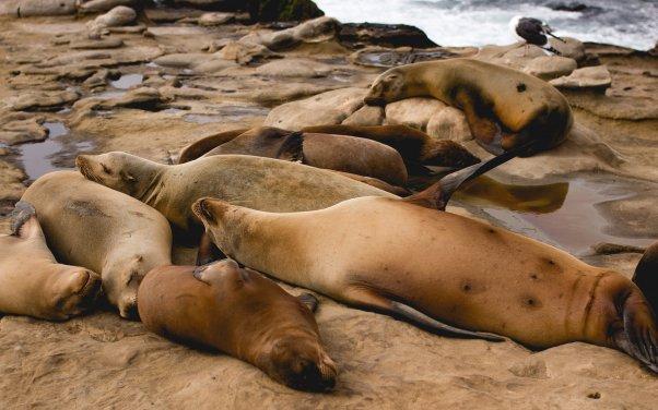 sleeping sea lions