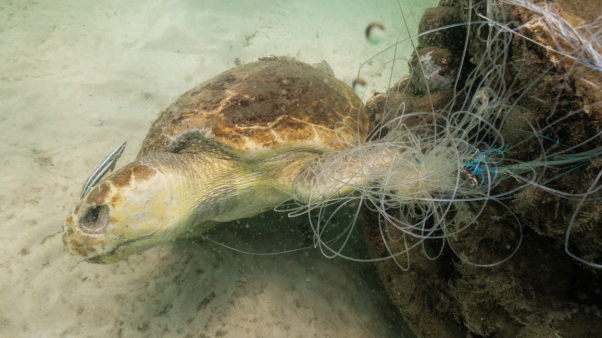 Abandoned fishing gear wrapped around turtle