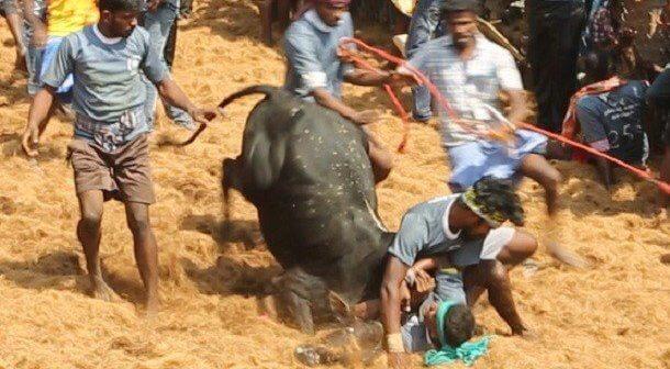 New PETA India Investigation Documents That Bulls Are Still Suffering in Jallikattu