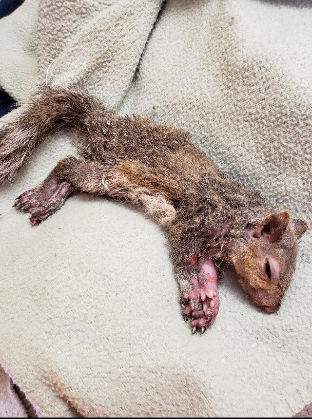 squirrel, rescue, sleeping