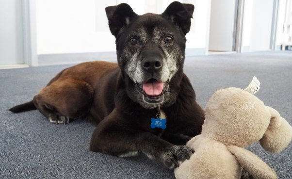 Happy black senior dog with stuffed animal