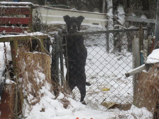 Black dog looking over fence on snowy day