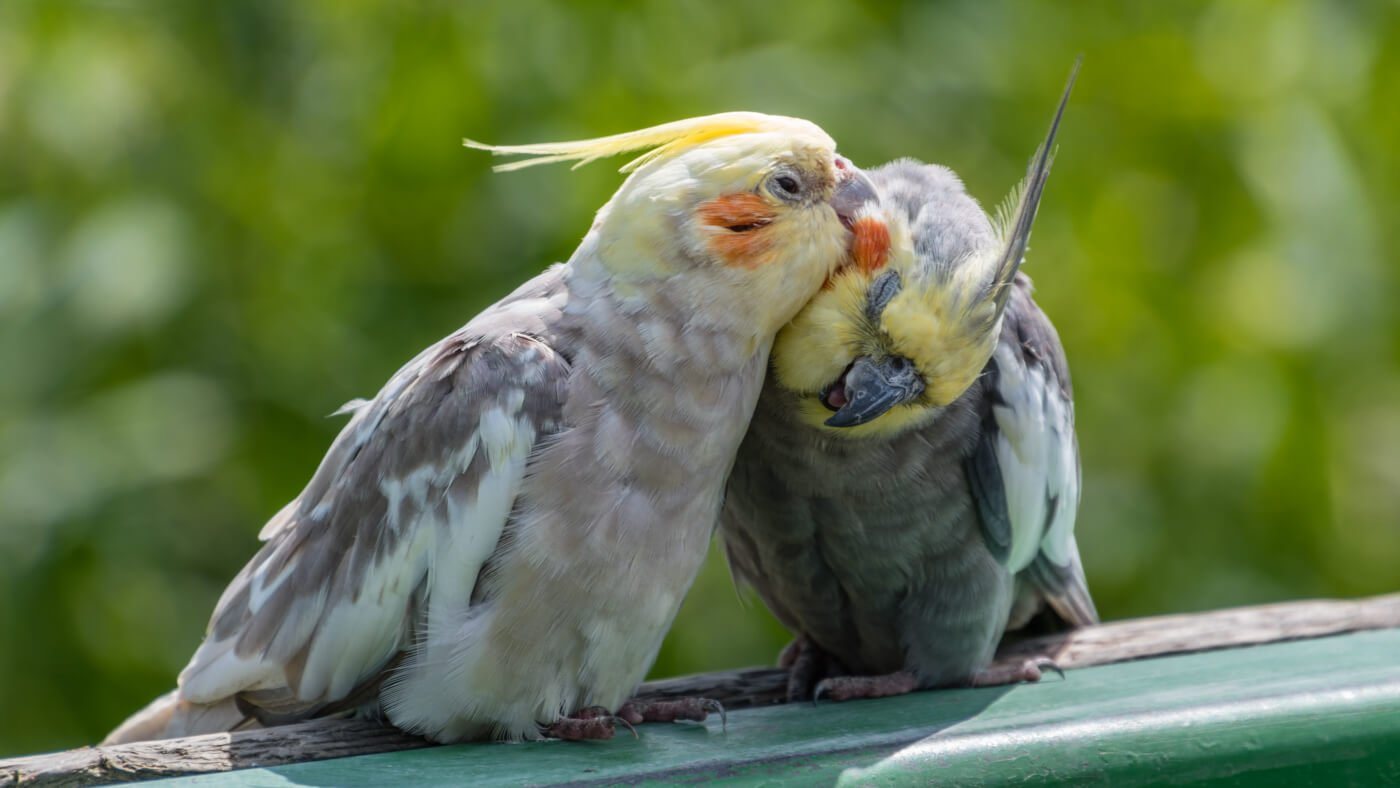 No Such Thing as a Caged Bird - Cockatiels Preening
