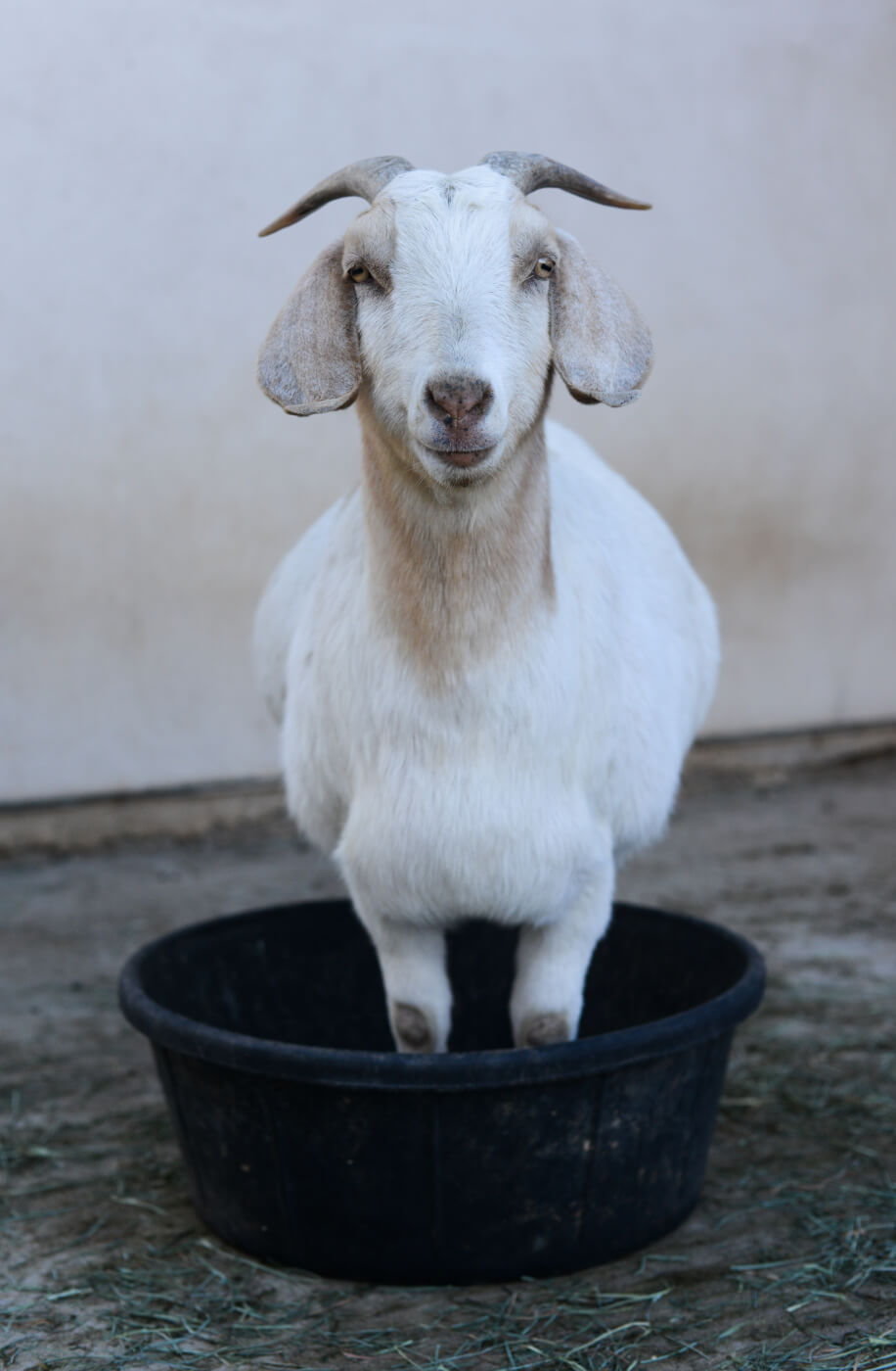 Rescued Goat At Farm Sanctuary In California