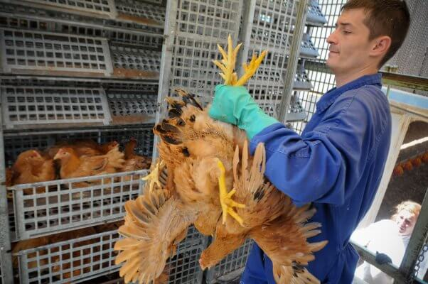 free range chicken being loaded into cage for transport