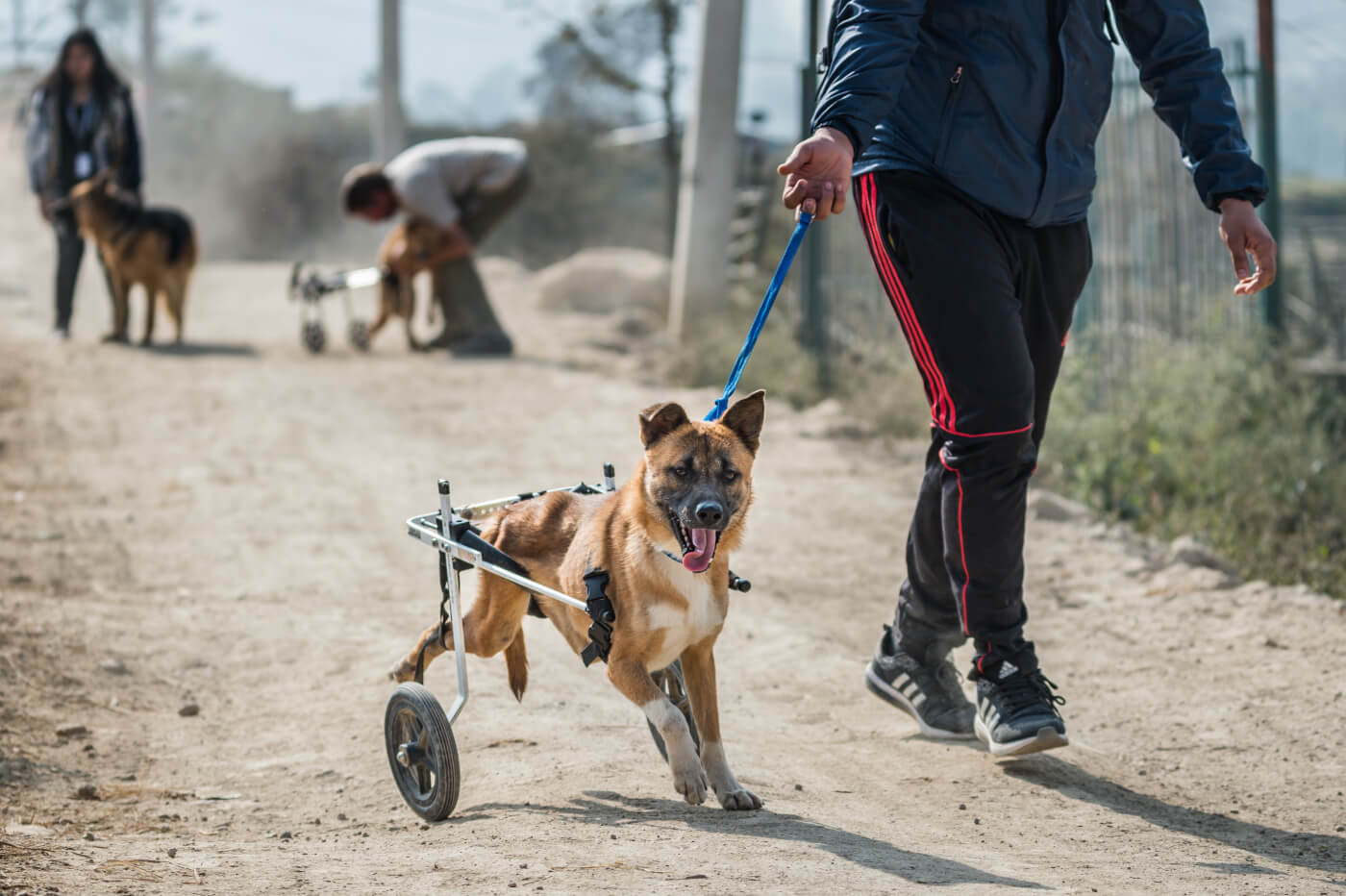Volunteer Walking With A Rescued Dog In A Wheelchair At Sneha's Care In Nepal