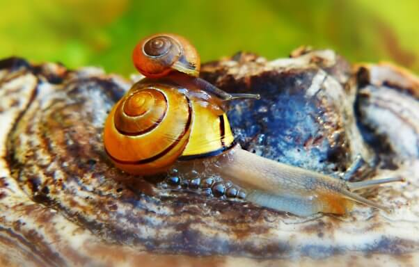 snail mom carrying baby on her back