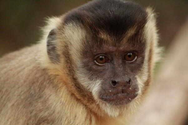 capuchin monkey, wild, pretty