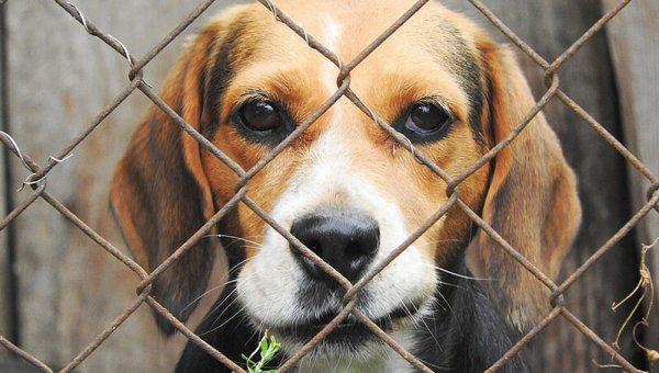 Dogs in Laboratories