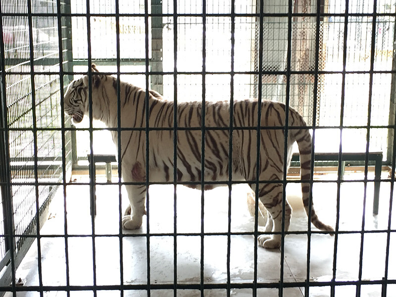 Barry the tiger
