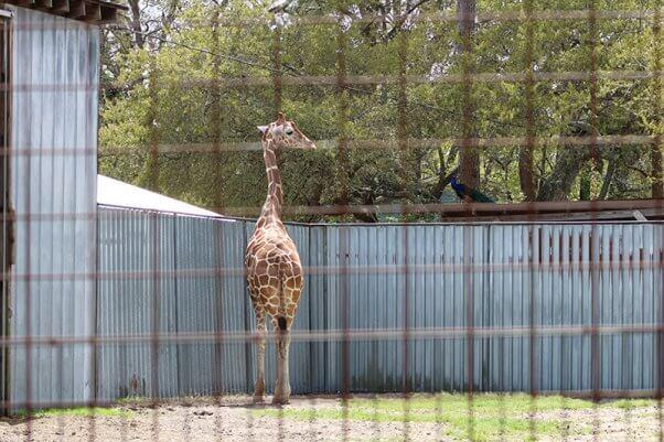 Jambo the giraffe at Tregembo Animal Park, a North Carolina roadside zoo